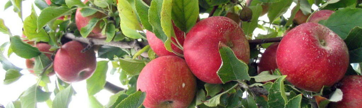 apple-picking21 (4)