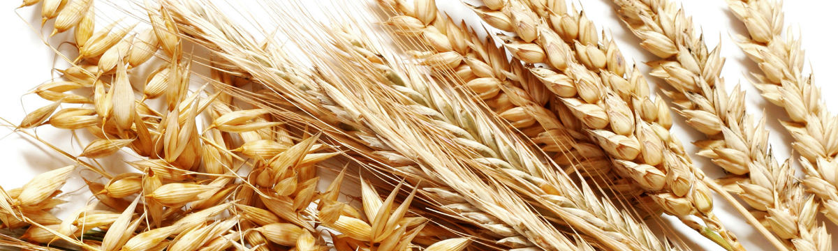 Harvest grains